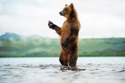 Terre des ours (3D) - © Sergey Gorshkov