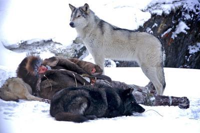 Wolf - © Kasia Wandycz