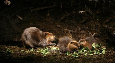 White Tuft the little beaver
