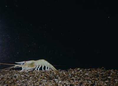 Histoires de crevettes