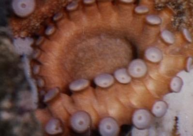 Les Amours de la pieuvre