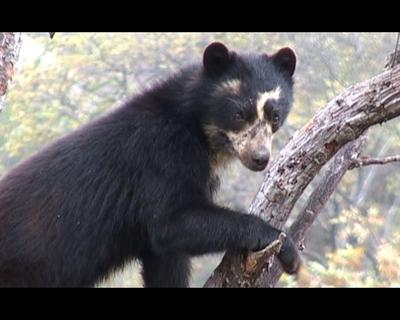 Chappari, les sept ours de la montagne sacrée