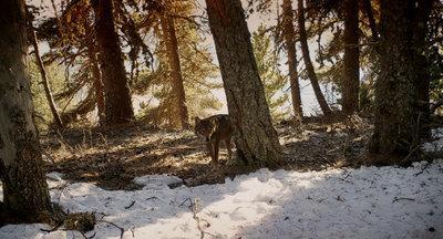 Wolf Walk