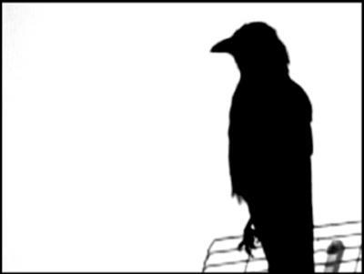 Crows Delight