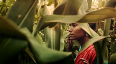 Le Champ de maïs - © Lionfish